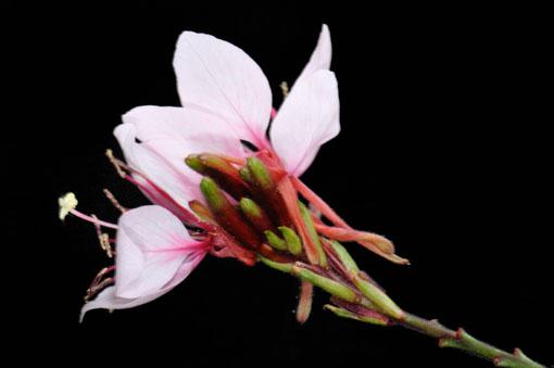 日本語で別名、白蝶草です。
