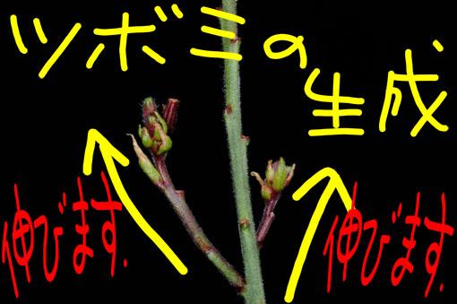 花茎の中間から、花茎が出て来たりもします。