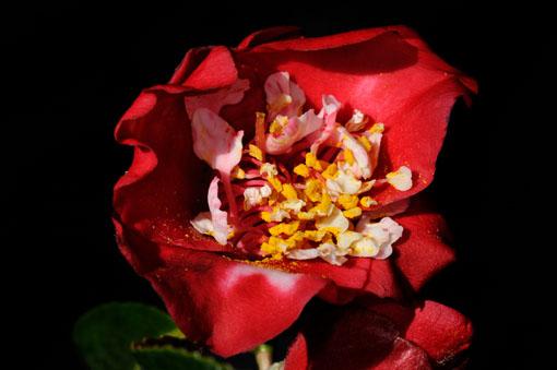 Camellia ' Bokuhan '