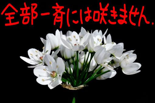 しっかりした花柄です。(ってどこ見とんぢゃ?)