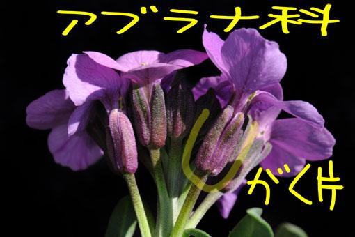 萼片がアブラナ科っぽいです。
