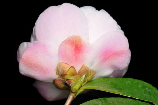 キレイなピンク色です。