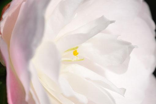 咲き終わって落ちた花を集めても良い香りがしたです。