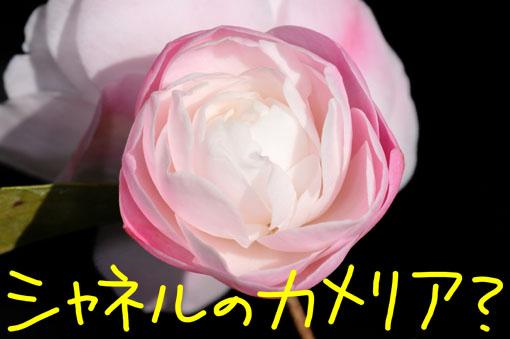 Camellia ' Cinnamon Cindy '