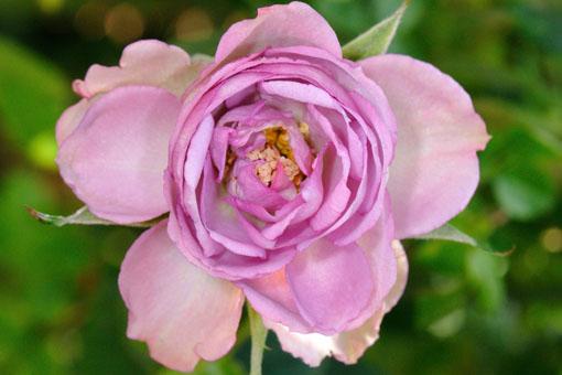 Rosa ' Blue Ovation '