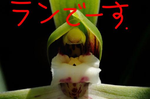 春の蘭です