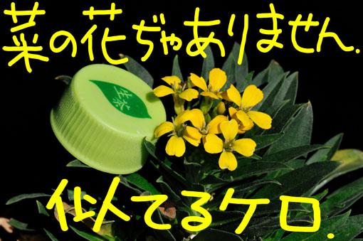 菜の花とは草丈も違います。