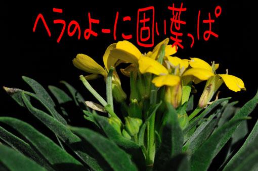 菜の花とは子房がそっくしです。