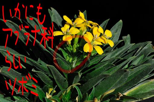 菜の花とはツボミがそっくしです。