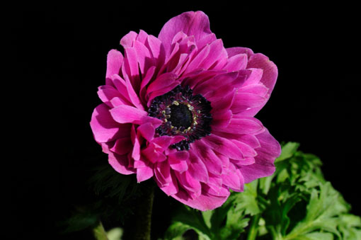 Anemone coronaria ' Porto '