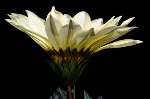 花は暗くなると閉じちゃいます。