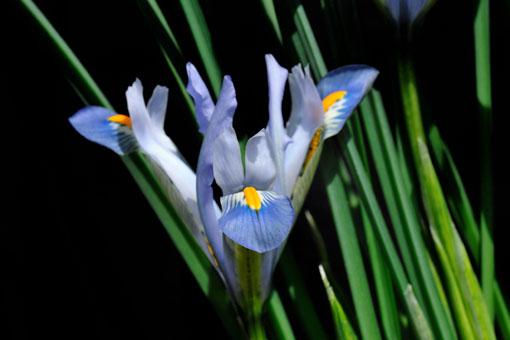直立してるんが内花被片です。(3つ)