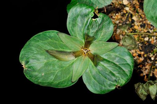 Trillium Californicum ' Darkred '