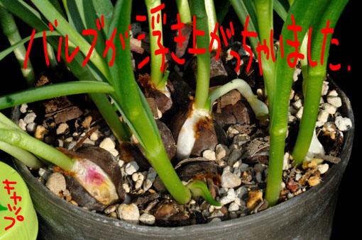 バルブをギチギチに植え込んだら、膨張して浮き上がって来ちゃいました。