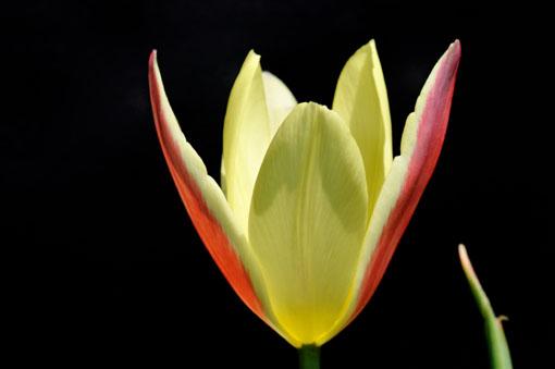 Tulipa ' Lady Jane '