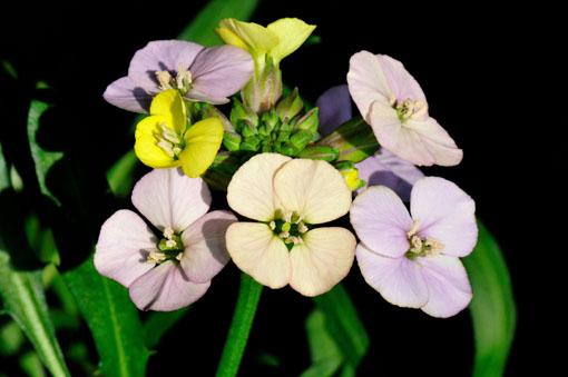 花色のルツボです。