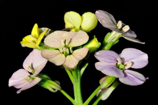 四弁花です。