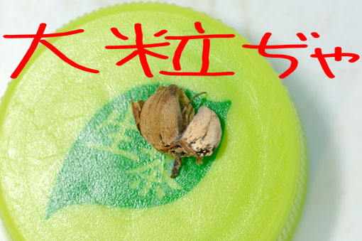 アサガオ(ヒルガオ科)っぽい種子です。