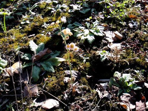 キク科系のロゼットがやたら土にめり込んでます。