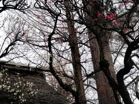 正門の上には紅白のウメが咲いてます。