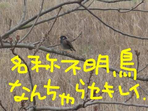 名称不明鳥 ムクドリ?
