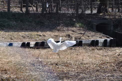 白鳥でもありません。