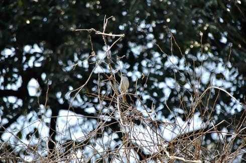 モジャモジャの木の天辺にいます。
