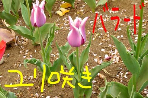 ユリ咲きです。