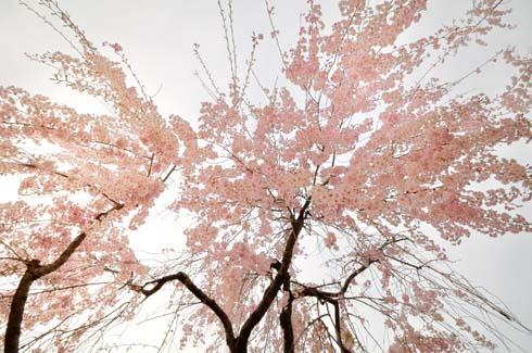 枝垂れ桜です。