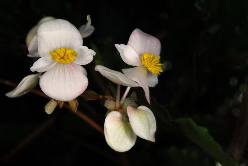 雄花にもあかね色が入ります。