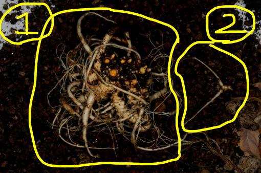 キキョウの根茎です。