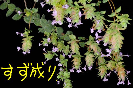 モケモケのは葉っぱです。